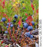 Купить «Зрелые сочные крупные ягоды черники на красных побегах растут на лесной поляне. Осень. Крупный план. Фон размыт», фото № 28730585, снято 2 сентября 2017 г. (c) Елена Александрова / Фотобанк Лори