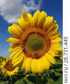Купить «Large flower of sunflower with bees», фото № 28731449, снято 10 июля 2018 г. (c) Володина Ольга / Фотобанк Лори
