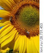 Купить «Large flower of sunflower with bees», фото № 28731453, снято 10 июля 2018 г. (c) Володина Ольга / Фотобанк Лори