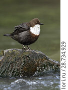 Купить «White throated Dipper ( Cinclus cinclus ) perched on a rock in a fast flowing river, fluffed up, typical view, wildlife, Europe.», фото № 28734929, снято 27 апреля 2018 г. (c) age Fotostock / Фотобанк Лори