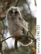 Купить «Funny young Long-eared Owl ( Asio otus ) perches in a tree / looks with wide open orange eyes directly into the camera, wildlife, Europe..», фото № 28740721, снято 22 мая 2012 г. (c) age Fotostock / Фотобанк Лори
