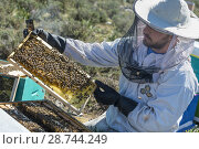 Купить «A beekeeper removing honey bees from the hive for inspection. Near Kardamyli in the Outer Mani, Peloponnese, Greece.», фото № 28744249, снято 5 июля 2020 г. (c) age Fotostock / Фотобанк Лори