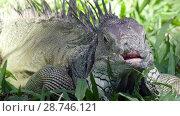 Купить «Big green iguana on a green grass», видеоролик № 28746121, снято 4 июля 2008 г. (c) Куликов Константин / Фотобанк Лори