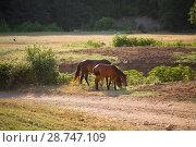 Купить «Табун лошадей в поле», фото № 28747109, снято 9 июня 2018 г. (c) Марина Володько / Фотобанк Лори
