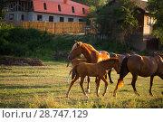 Купить «Табун лошадей в поле», фото № 28747129, снято 9 июня 2018 г. (c) Марина Володько / Фотобанк Лори