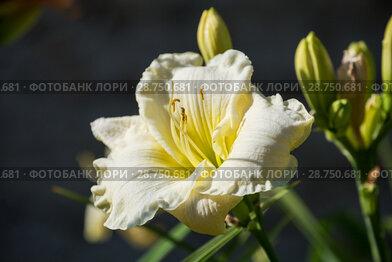 Купить «White daylily hemerocallis», фото № 28750681, снято 12 июля 2018 г. (c) Юлия Бабкина / Фотобанк Лори