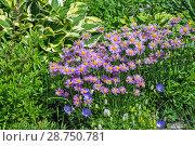 Купить «Цветущая Астра альпийская (Aster alpinus)», фото № 28750781, снято 3 июля 2018 г. (c) Евгений Мухортов / Фотобанк Лори