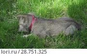 Купить «Beautiful amusing puppies of Saarloos wolfhound playing on green lawn in the park stock footage video», видеоролик № 28751325, снято 13 июня 2018 г. (c) Юлия Машкова / Фотобанк Лори