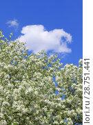 Купить «Цветущая яблоня на фоне синего неба и белого облака», фото № 28751441, снято 7 июня 2018 г. (c) Григорий Писоцкий / Фотобанк Лори