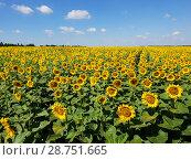 Купить «Agricultural cultivation of sunflower in the field. Russia», фото № 28751665, снято 10 июля 2018 г. (c) Володина Ольга / Фотобанк Лори