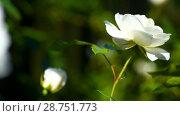 Купить «Beautiful white rose», видеоролик № 28751773, снято 15 июля 2018 г. (c) Peredniankina / Фотобанк Лори
