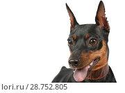 Portrait of purebred miniature Pinscher dog. Стоковое фото, фотограф Алексей Кузнецов / Фотобанк Лори