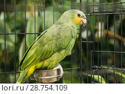The Orange-winged Amazon Or Amazona Amazonica, Also Known Locally As Orange-winged Parrot And Loro Guaro, Is A Large Amazon Parrot. Wild Bird In Cage. Стоковое фото, фотограф Ryhor Bruyeu / easy Fotostock / Фотобанк Лори