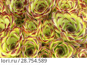 Купить «Hens and chicks. Sempervivum tectorum.», фото № 28754589, снято 10 мая 2018 г. (c) easy Fotostock / Фотобанк Лори