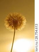 Купить «Dandelion. Taraxacum officinale.», фото № 28754613, снято 9 мая 2018 г. (c) easy Fotostock / Фотобанк Лори