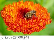 Купить «Пчела собирает нектар на цветке календулы», фото № 28790941, снято 10 июля 2018 г. (c) Елена Коромыслова / Фотобанк Лори