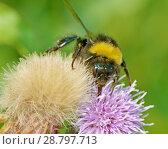 Купить «A bumblebee collects nectar from a flower», фото № 28797713, снято 16 июля 2018 г. (c) Александр Клопков / Фотобанк Лори