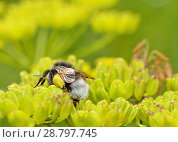 Купить «A bumblebee collects nectar from a flower.», фото № 28797745, снято 16 июля 2018 г. (c) Александр Клопков / Фотобанк Лори