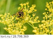 Купить «Пчела собирает нектар на цветках укропа», эксклюзивное фото № 28798369, снято 9 июля 2018 г. (c) Игорь Низов / Фотобанк Лори