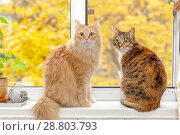 Купить «The gray and red cat sit side by side on the windowsill.», фото № 28803793, снято 15 октября 2017 г. (c) Акиньшин Владимир / Фотобанк Лори