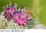 Купить «A bumblebee collects nectar from a flower.», фото № 28804321, снято 13 июля 2018 г. (c) Александр Клопков / Фотобанк Лори