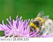 Купить «A bumblebee collects nectar from a flower», фото № 28804333, снято 16 июля 2018 г. (c) Александр Клопков / Фотобанк Лори