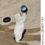 Купить «Young polar bear (Ursus maritimus) playing», фото № 28807141, снято 16 июля 2018 г. (c) Валерия Попова / Фотобанк Лори
