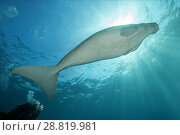 Купить «Female scubadiver looks at Dugong or Sea Cow (Dugong dugon) swims under surface of blue water», фото № 28819981, снято 24 июля 2018 г. (c) Некрасов Андрей / Фотобанк Лори