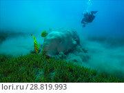 Купить «Female scubadiver looks on Dugong or Sea Cow (Dugong dugon) eating sea grass», фото № 28819993, снято 24 июля 2018 г. (c) Некрасов Андрей / Фотобанк Лори