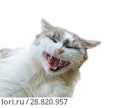 Купить «Смешной кот, изолировано на белом фоне», фото № 28820957, снято 25 марта 2019 г. (c) Екатерина Овсянникова / Фотобанк Лори
