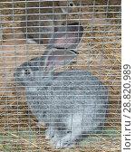 Купить «Кролики сидят в клетке», фото № 28820989, снято 22 июля 2018 г. (c) Екатерина Овсянникова / Фотобанк Лори