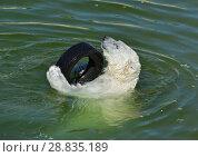 Купить «Funny young polar bear in water with car tire. Finnish Lapland. Большая игра», фото № 28835189, снято 16 июля 2018 г. (c) Валерия Попова / Фотобанк Лори