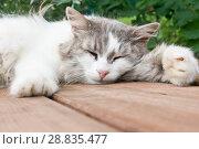 Купить «Серо-белая кошка спит на деревянном полу на фоне зелени», фото № 28835477, снято 22 июля 2018 г. (c) Екатерина Овсянникова / Фотобанк Лори