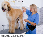 Купить «woman hairdresser cuts Afghan puppy Shepherd in beauty salon for animals», фото № 28840937, снято 17 октября 2017 г. (c) Татьяна Яцевич / Фотобанк Лори