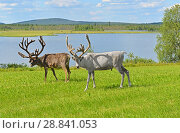 Two reindeers grazing on green meadow on shore of northern lake. Finnish Lapland. Стоковое фото, фотограф Валерия Попова / Фотобанк Лори