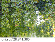 Купить «The branches of the green decorative vine hang from above», фото № 28841385, снято 21 июня 2018 г. (c) Олег Белов / Фотобанк Лори