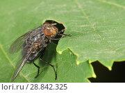 Купить «Муха домашняя или комнатная (лат. Musca domestica) - семейство настоящих мух (лат. Muscidae) на зеленом листе. Типичный синантропный организм», фото № 28842325, снято 21 июня 2018 г. (c) Наталья Гармашева / Фотобанк Лори