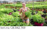 Купить «Woman gardener working with spearmint in pot in sunny hothouse», фото № 28842769, снято 16 августа 2018 г. (c) Яков Филимонов / Фотобанк Лори