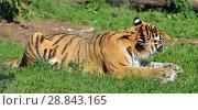Купить «Siberian tiger (P. t. altaica), also known as Amur tiger, is eating», фото № 28843165, снято 18 июля 2018 г. (c) Валерия Попова / Фотобанк Лори