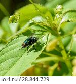 Купить «Навозная муха сидит на траве», эксклюзивное фото № 28844729, снято 25 июня 2018 г. (c) Игорь Низов / Фотобанк Лори