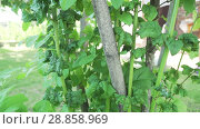 Купить «Damaged Kalina leaves from harmful insects aphids stock footage video», видеоролик № 28858969, снято 21 июля 2018 г. (c) Юлия Машкова / Фотобанк Лори