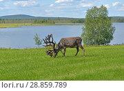 Купить «Reindeer with large horns grazing on green meadow on shore of northern lake. Finnish Lapland», фото № 28859789, снято 13 июля 2018 г. (c) Валерия Попова / Фотобанк Лори