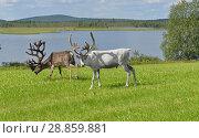 Купить «Two Reindeers with large horns grazing on green meadow on shore of northern lake. Finnish Lapland», фото № 28859881, снято 13 июля 2018 г. (c) Валерия Попова / Фотобанк Лори