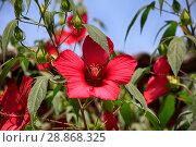 Купить «Beautiful red hibiscus flower closeup blossomed in the garden», фото № 28868325, снято 9 июля 2018 г. (c) Яна Королёва / Фотобанк Лори
