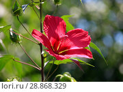 Купить «Beautiful red hibiscus flower closeup blossomed in the garden», фото № 28868329, снято 9 июля 2018 г. (c) Яна Королёва / Фотобанк Лори