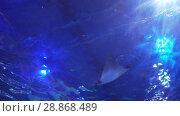 Купить «Scat is swimming in the glass tunnel of the Aquarium in Dubai Mall stock footage video», видеоролик № 28868489, снято 9 апреля 2018 г. (c) Юлия Машкова / Фотобанк Лори
