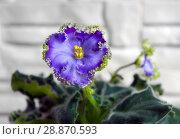 Купить «Beautiful flower Saintpaulia (Узамбарская Фиалка)», фото № 28870593, снято 21 февраля 2020 г. (c) ElenArt / Фотобанк Лори