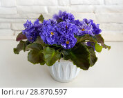 Купить «Beautiful flower Saintpaulia (Узамбарская Фиалка)», фото № 28870597, снято 21 февраля 2020 г. (c) ElenArt / Фотобанк Лори