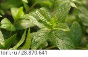 Купить «Mint Herb under rain», видеоролик № 28870641, снято 19 июня 2018 г. (c) Илья Шаматура / Фотобанк Лори