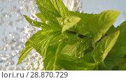 Купить «Mint plant under water», видеоролик № 28870729, снято 19 июня 2018 г. (c) Илья Шаматура / Фотобанк Лори